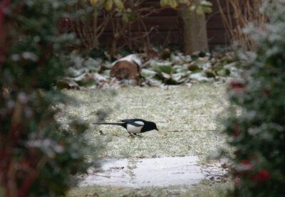 Sroka zimą nie odlatuje