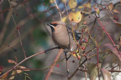 Jemiołuszka to ptak zimujący z północy.