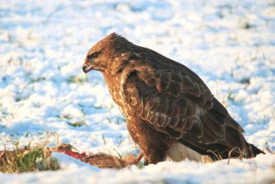 Ptaki drapieżne zimą polują na wszelkie drobne ssaki i ptaki, nie gardzą też padliną.