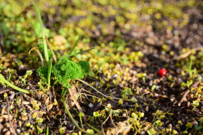 Nasiona spadające z karmnika kiełkują wiosną.