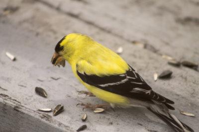 Szczygieł zimą zjada słonecznik, wszystkie ptaki zimujące go lubią