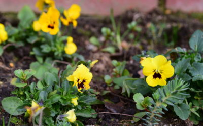 Żółte bratki to rośliny dwuletnie, które potrafią kwitnąć w styczniu.