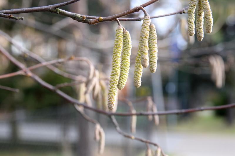 Kwiatostany męskie leszczyny kwitną w zimie.