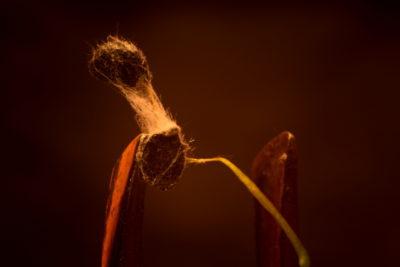 Pleśń obrastająca białymi nitkami najpierw nasiona, potem całe kiełki, zarówno korzenie jak łodygi.