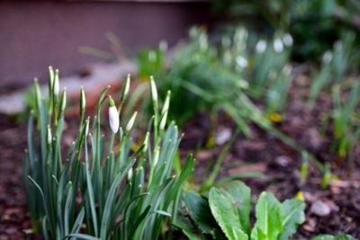 Śnieżyczki to właśnie to, co jest oznaką wiosny już od stycznia.