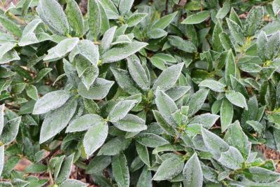 Oszroniona laurowiśnia zimą lubi półcień.