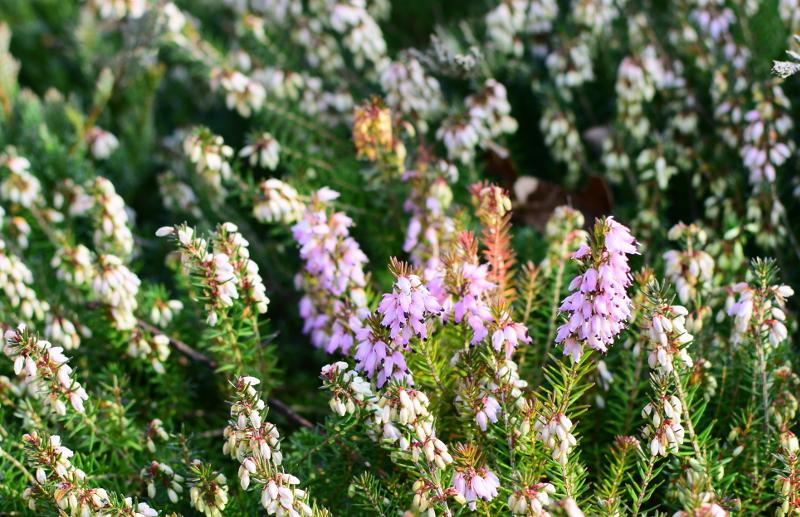Wrzośce kwitną w środku zimy i też wytwarzają nektar.