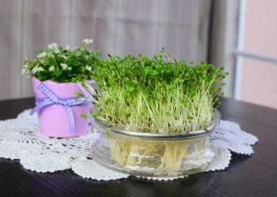 Rzeżucha bez waty na wiosennym stole.