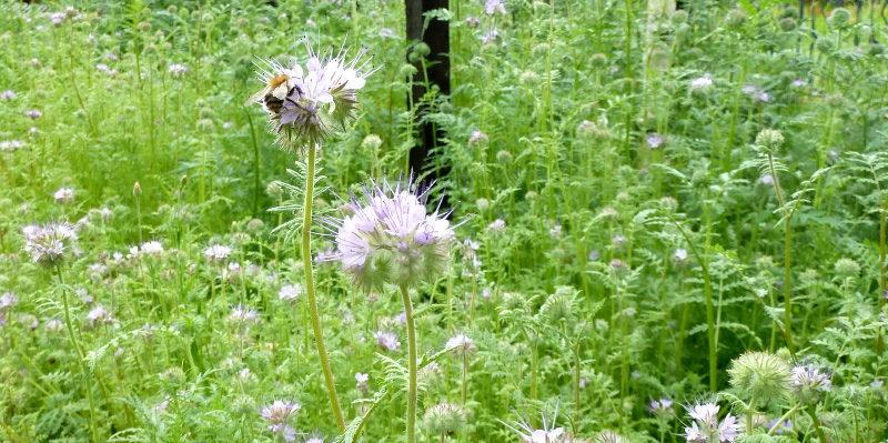 Facelia nasiona idealne dla pszczół
