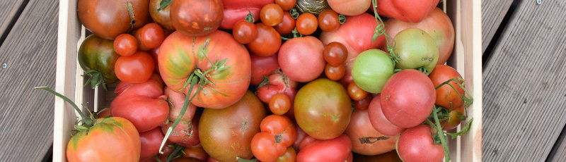 Takie pomidory to owoc pracy kogoś, kto dobrze wiedział kiedy siać warzywa i jakie!
