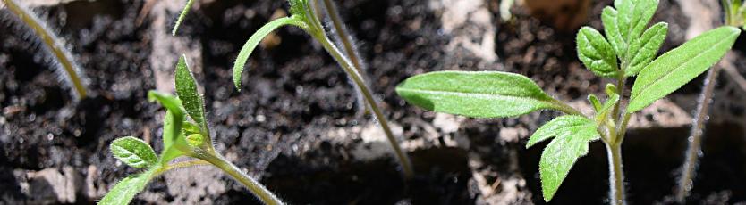 Rozsada pomidorów - jak ją łatwo zrobić? 1