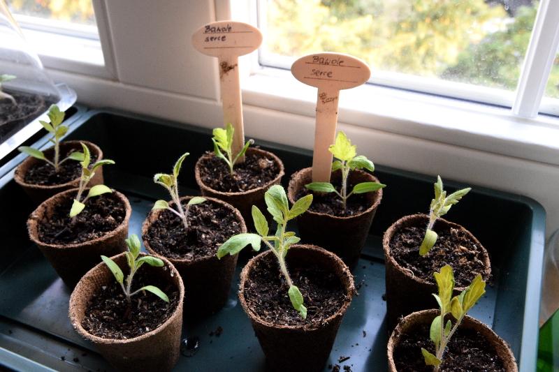 Rozsada Pomidorów łatwy Sposób Dla Początkujących Semini
