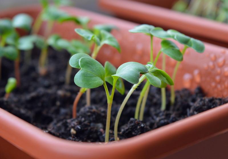 Siewki warzyw