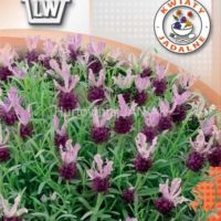 Lawenda francuska nasiona Piękne i pachnące kwiaty o lawendowym kolorze