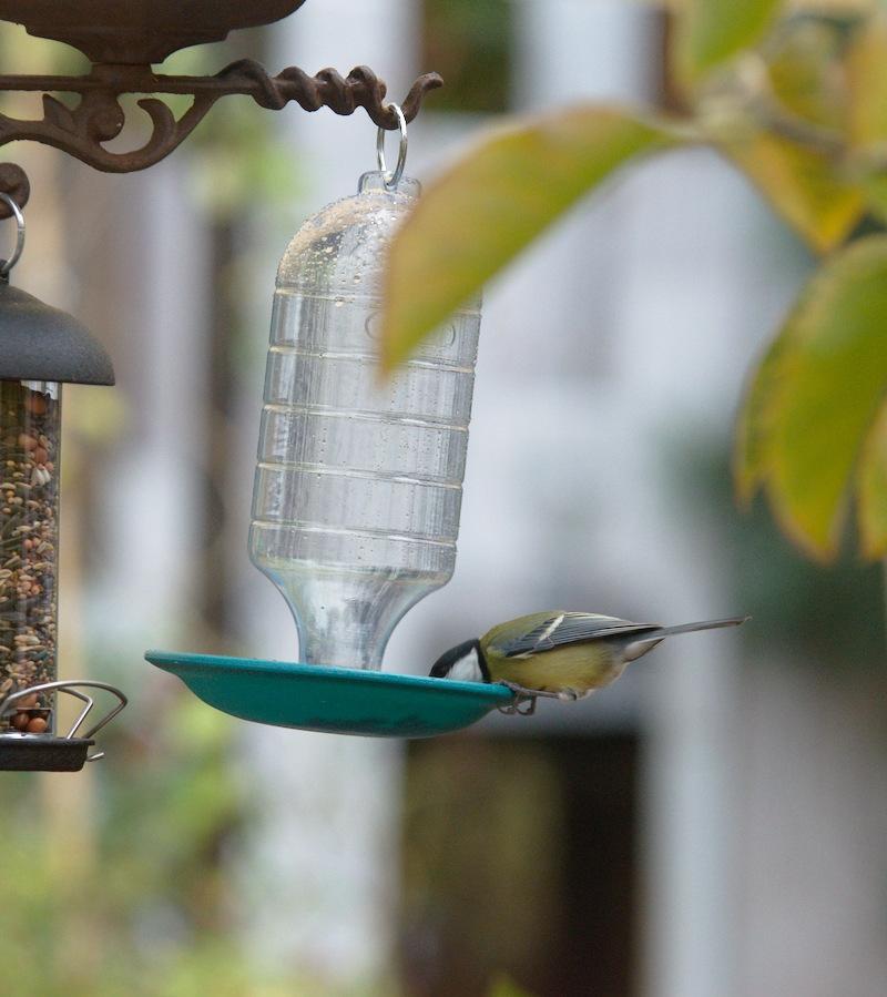 Ptak pije z poidełka jesienią