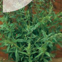Hyzop lekarski nasiona hyzopu