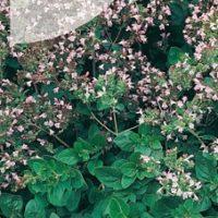 Lebiodka pospolita nasiona oregano