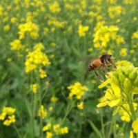 Gorczyca na poplon 5kg i dla pszczół
