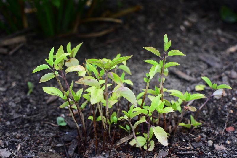 Bazylia cynamonowa nasiona w ogrodzie