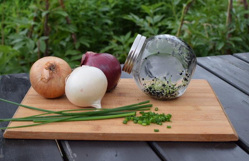 Kiełki cebuli w kiełkownicy, cebula i szczypiorek