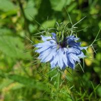 Czarnuszka siewna 1kg nasiona dla pszczół i dla zdrowia