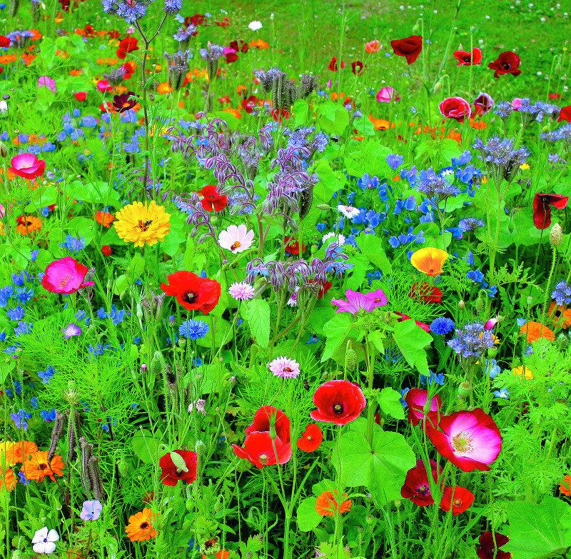 nasiona kwiatów dla biedronek łąka