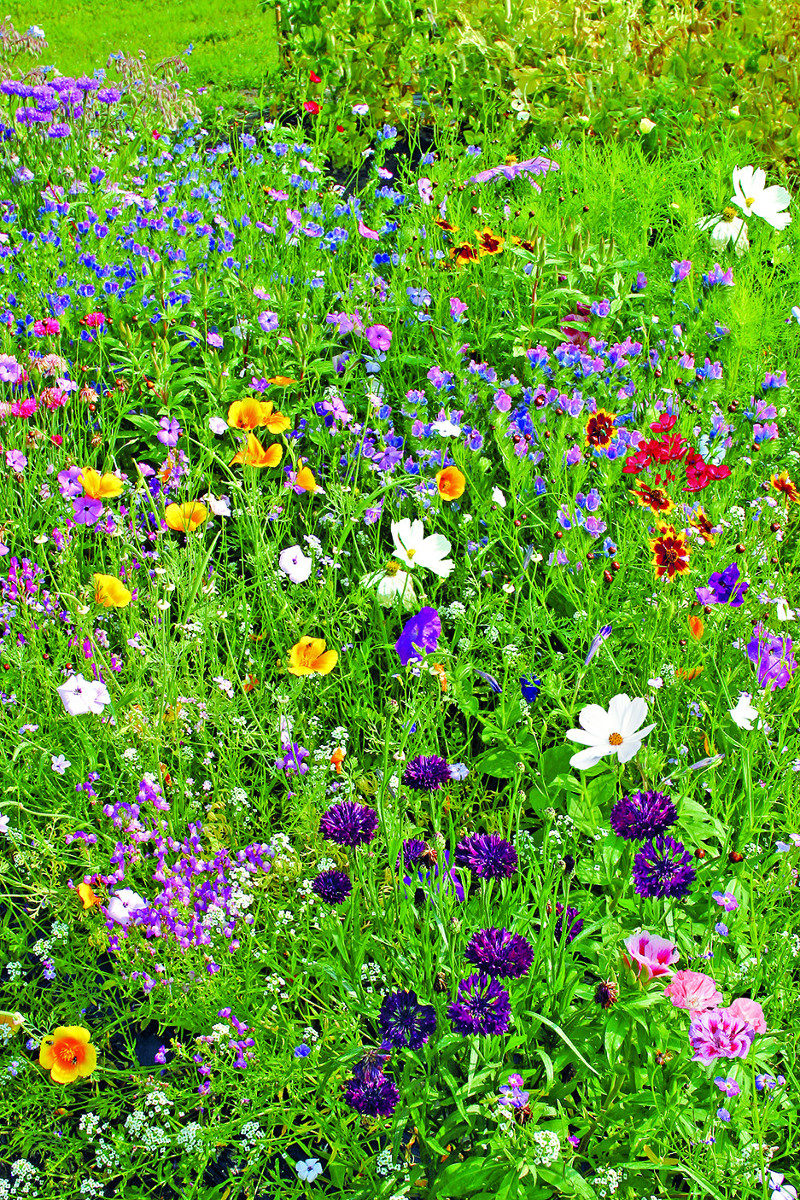nasiona kwiatów dla ptaków łąka
