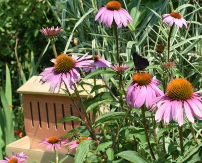 Jeżówka przyciąga motyle, których gąsienice przenoszą sie do domku na czas przepoczwarzania się.