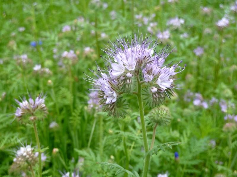 Facelia nasiona dla pszczół to pachnący, miododajny kwiat jednoroczny, którego korzenie wiążą azot z powietrza.