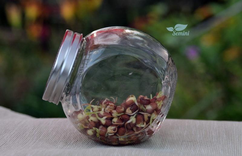 Pięciodniowe kiełki fasoli Adzuki w słoiku na kiełki Semini