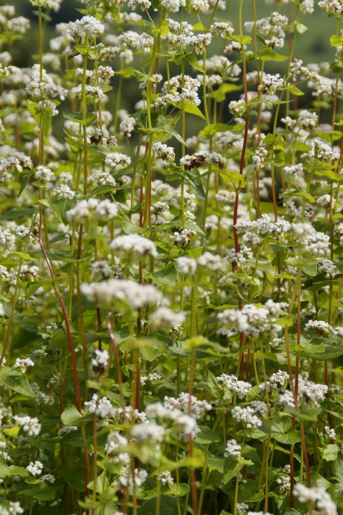 Nasiona gryki rośliny miododajne dla pszczół