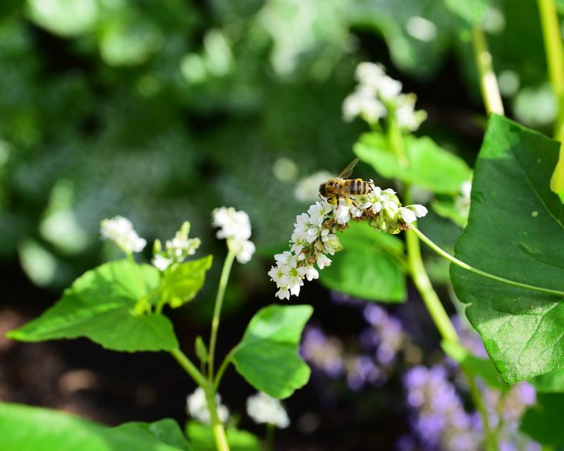 Gryka, na poplon i dla pszczół.
