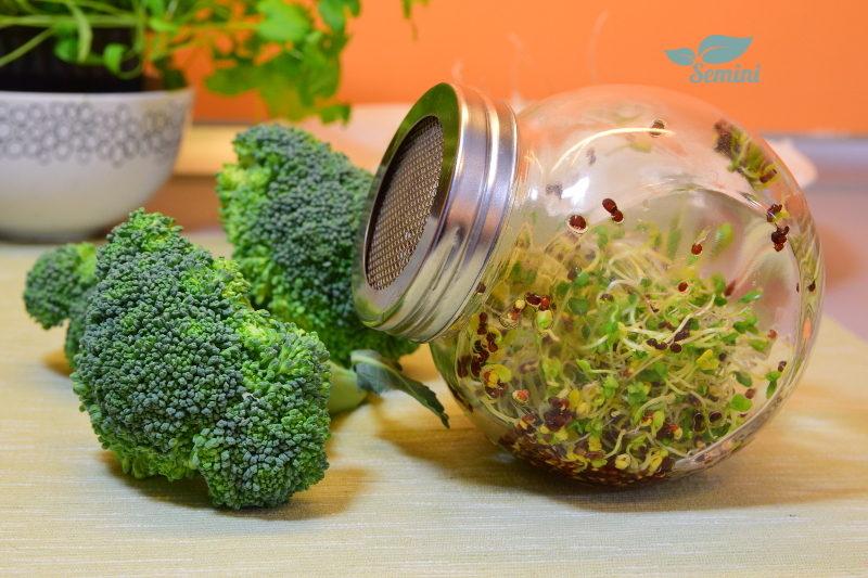 Kiełki brokuła i brokuł, kiełkownica słoikowa Semini