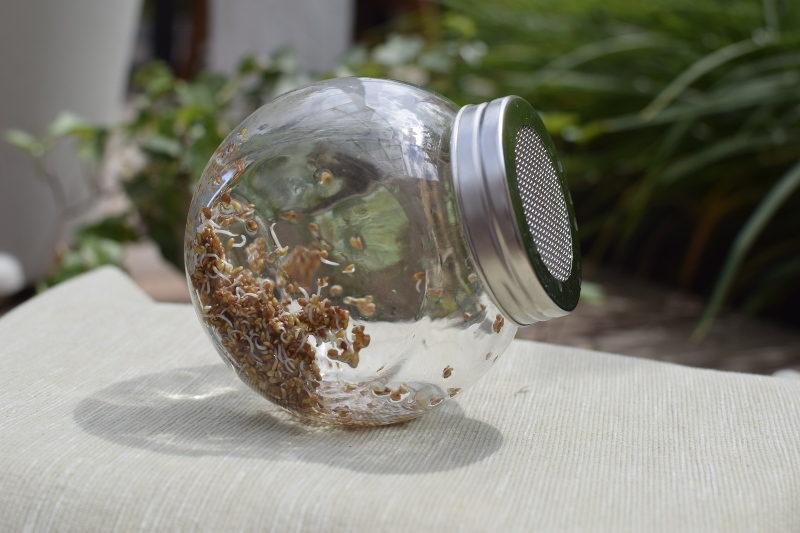 Kiełki lucerny drugiego dnia w słoik do kiełkowania