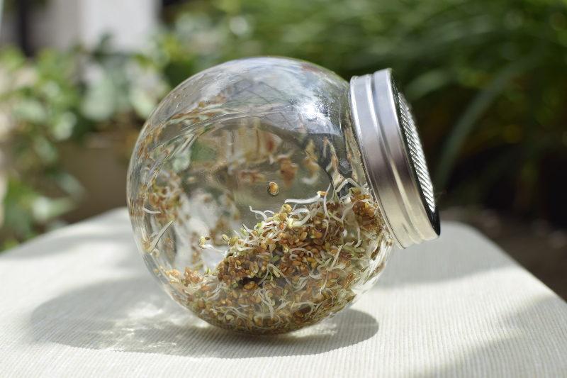 Kiełki lucerny trzeciego dnia w słoiku do kiełkowania