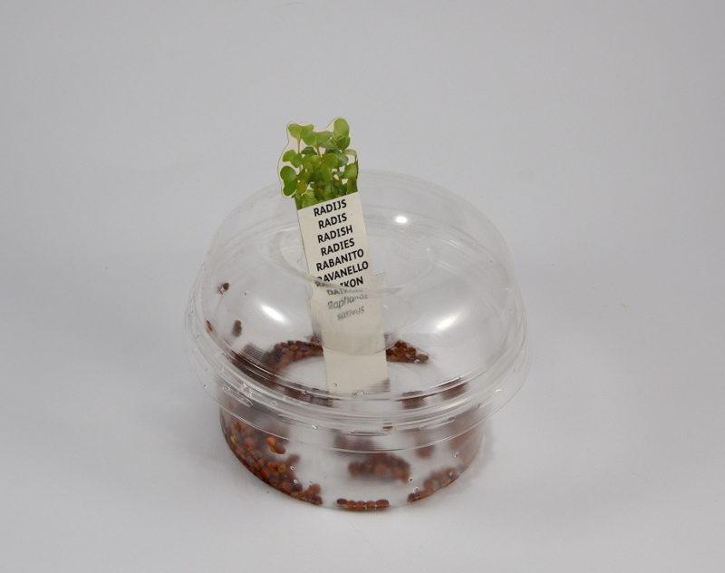 Kiełkownica biodegradowalna z namoczonymi nasionami rzodkiewki