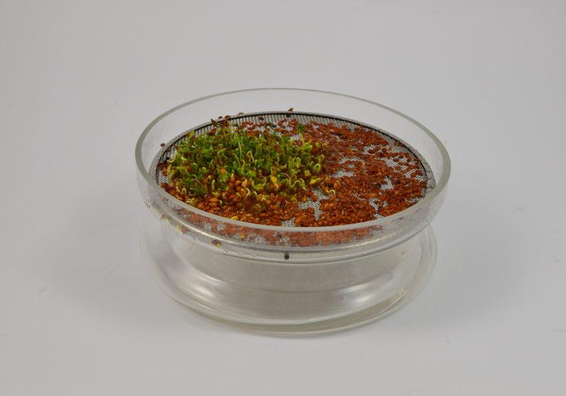 Rzeżucha kiełkuje w szklanej kiełkownicy