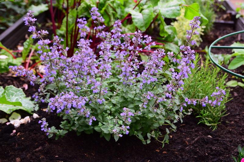 Kocimiętka w małym ogródku