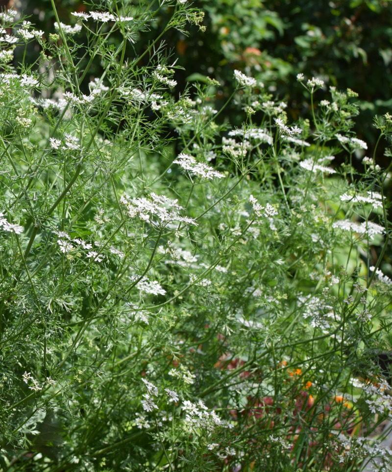 Kolendra siewna kwiaty