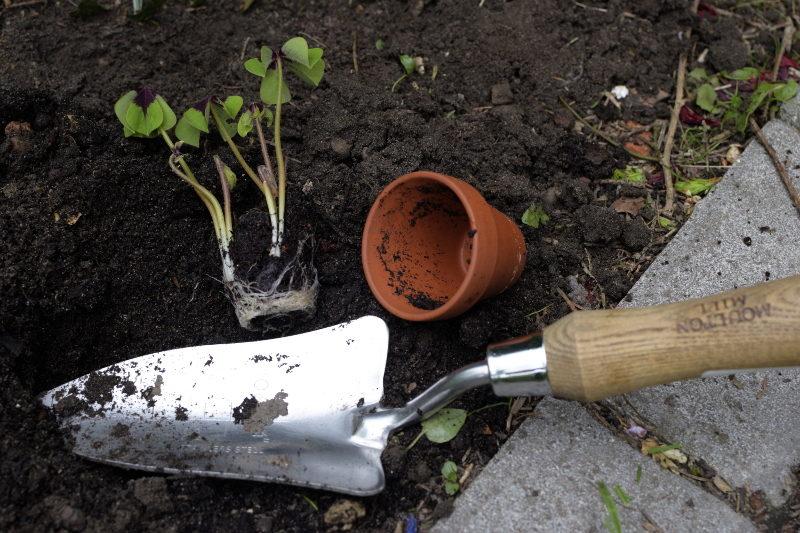 sadzenie koniczyny