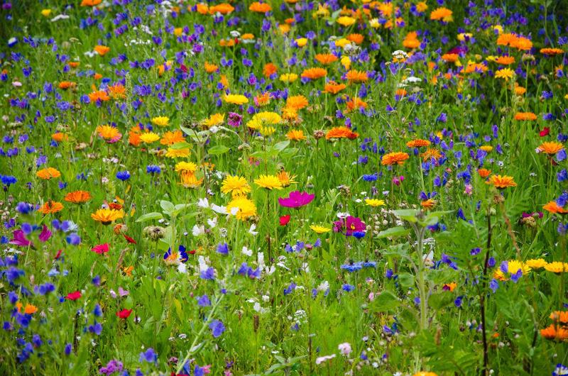 Nasiona roślin miododajnych dla pszczół czyli wiele gatunków polnych kwiatów i ziół