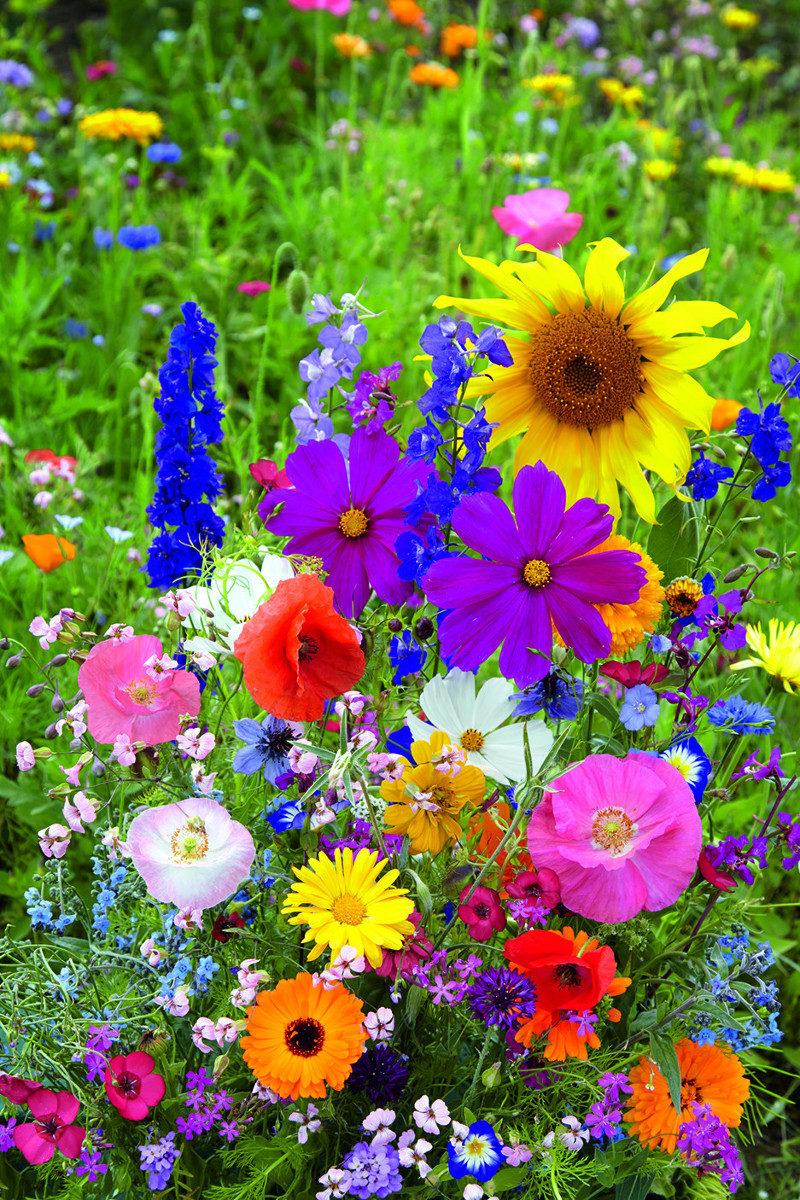 nasiona kolorowej łąki kwiatowej
