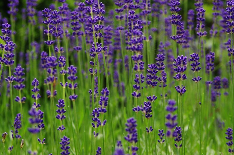 lawenda pachnące łany pełne pszczół i trzmieli