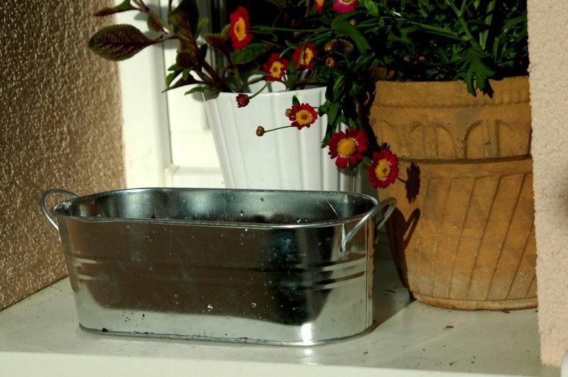 Lawenda z nasion świeżo wysiana stoi na oknie