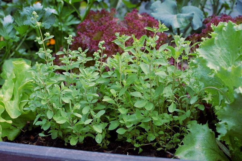 Majeranek to pięknie pachnąca roślina do każdego warzywnika