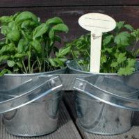 Podwójne zioła w doniczce: bazylia i pietruszka, znacznik