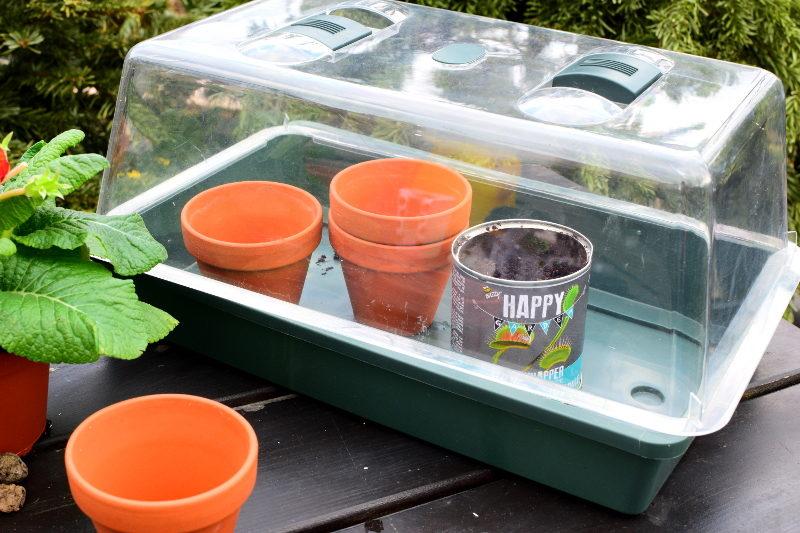 Na czas kiełkowania muchołówkę najlepiej trzymać w miniszklarence z wywietrznikami.