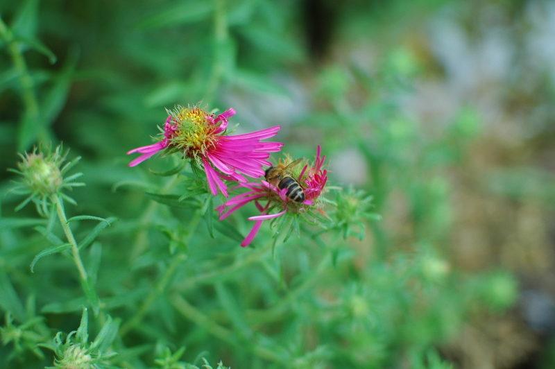 Pszczoła na kwiatach astrów nowobelgijskich