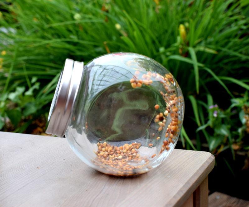 Rzodkiewka nasiona na kiełki w kiełkownicy słoikowej - dzień pierwszy.