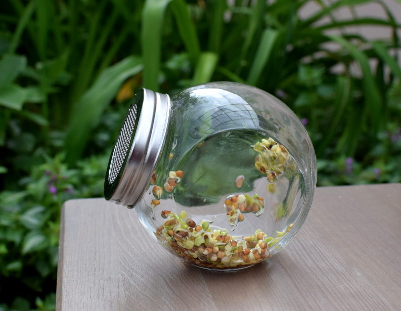 Rzodkiewka nasiona na kiełki w kiełkownicy słoikowej - dzień 3